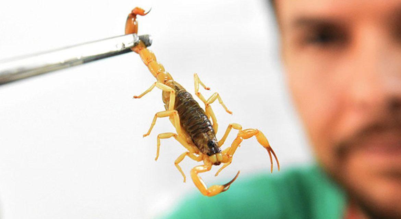 Butantan disponibiliza curso online sobre escorpião
